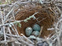 Photo of a bird's nest with eggs.