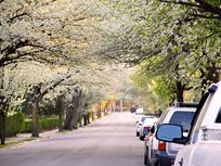 Photograph of blossoming trees in a neighborhood.