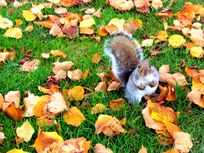 Photograph of a squirrel on grass surrounded by autumn leaves.