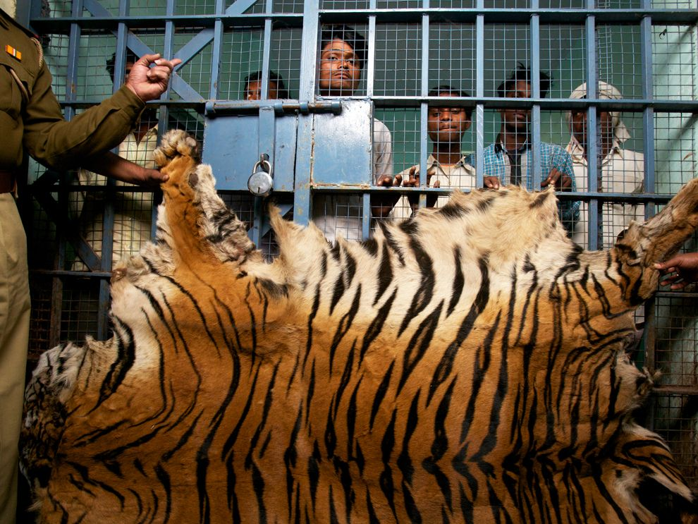 The issue of bengal tigers poaching and illegal trade