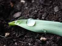 Picture of a water drop on a leaf.