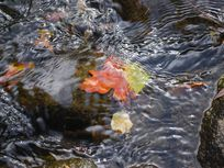 Picture of leaves in a river.