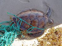 Picture of a turtle in a net.