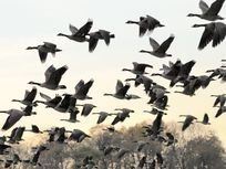 Picture of flying geese.