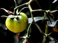 Picture of a tomato.