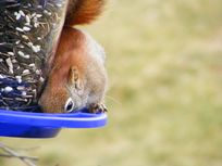 Picture of a squirrel at a bird feeder.