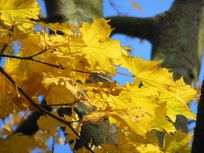 Picture of bright yellow leaves.