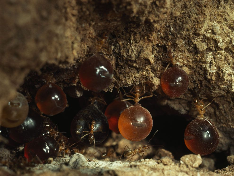 Honey Ant Adaptations