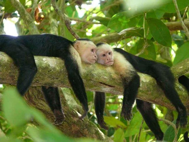 Capuchin Twins