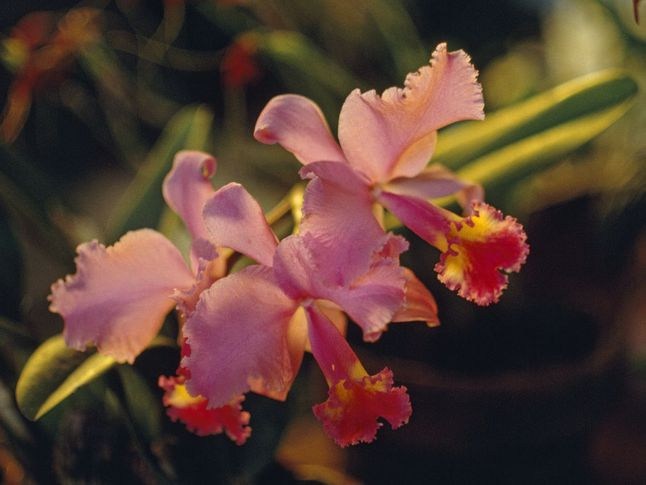 Christmas Orchids National Geographic Society