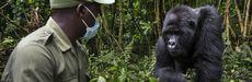 National Geographic Explorer Innocent Mburanumwe is a veteran conservation ranger and mountain gorilla expert in Virunga National Park, Democratic Republic of the Congo.