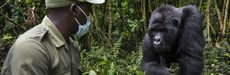 National Geographic Explorer Innocent Mburanumwe is a veteran conservation ranger and mountain gorilla expert in Virunga National Park, Democratic Republic of the Congo.