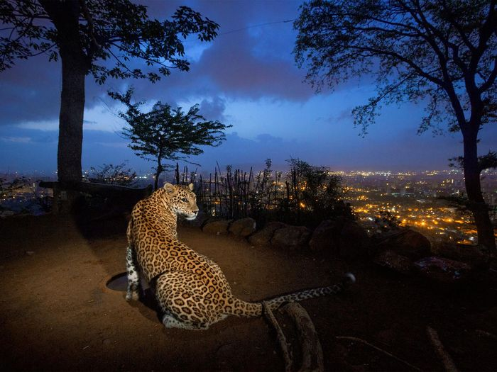 Picture of a leopard in Sanjay Gandhi National Park, Mumbai, India