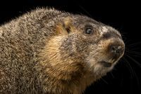 This is afemale yellow bellied marmot,Marmota flaviventris, collected from the Rocky Mountains of Colorado atthe hibernation study lab of Colorado State University in Fort Collins.