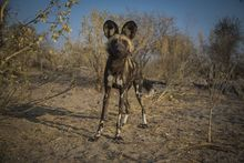 Picture of wild spotted dog in Angolan highlands, 2015
