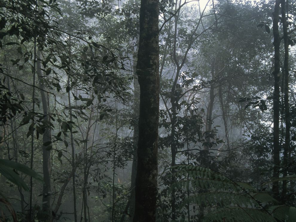 Many rain forests experience more than 100 inches of rain every year. Precipitation may also come in the form of fog and mist, like the clouds surrounding this rain forest in Borneo.