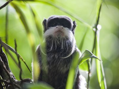 Emperor tamarin, Saguinus imperator, peeks through vegetation in the lowland rainforest