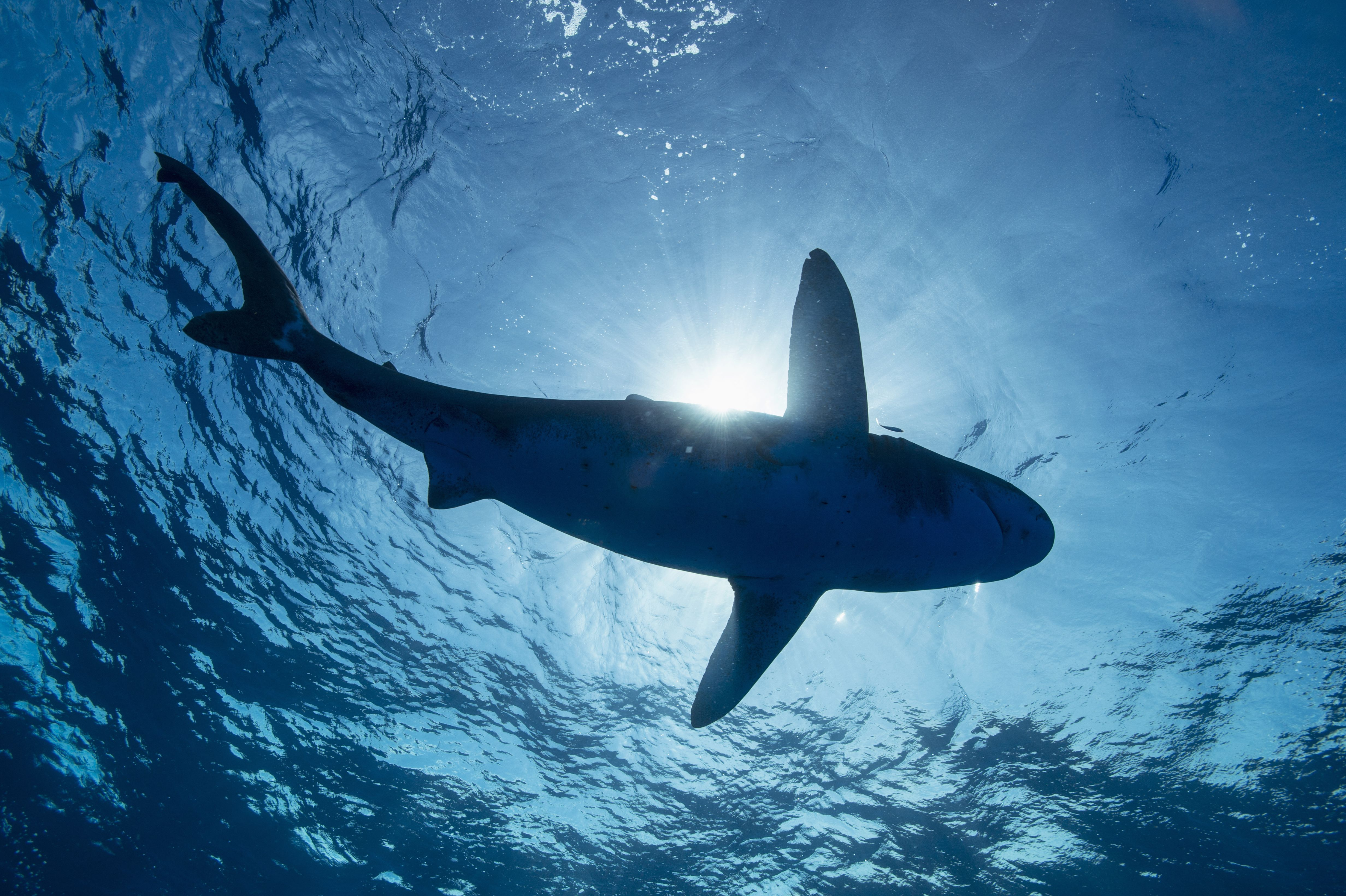 sharks national geographic society