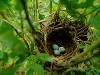 A photograph of the nest of a red-winged blackbird with eggs.