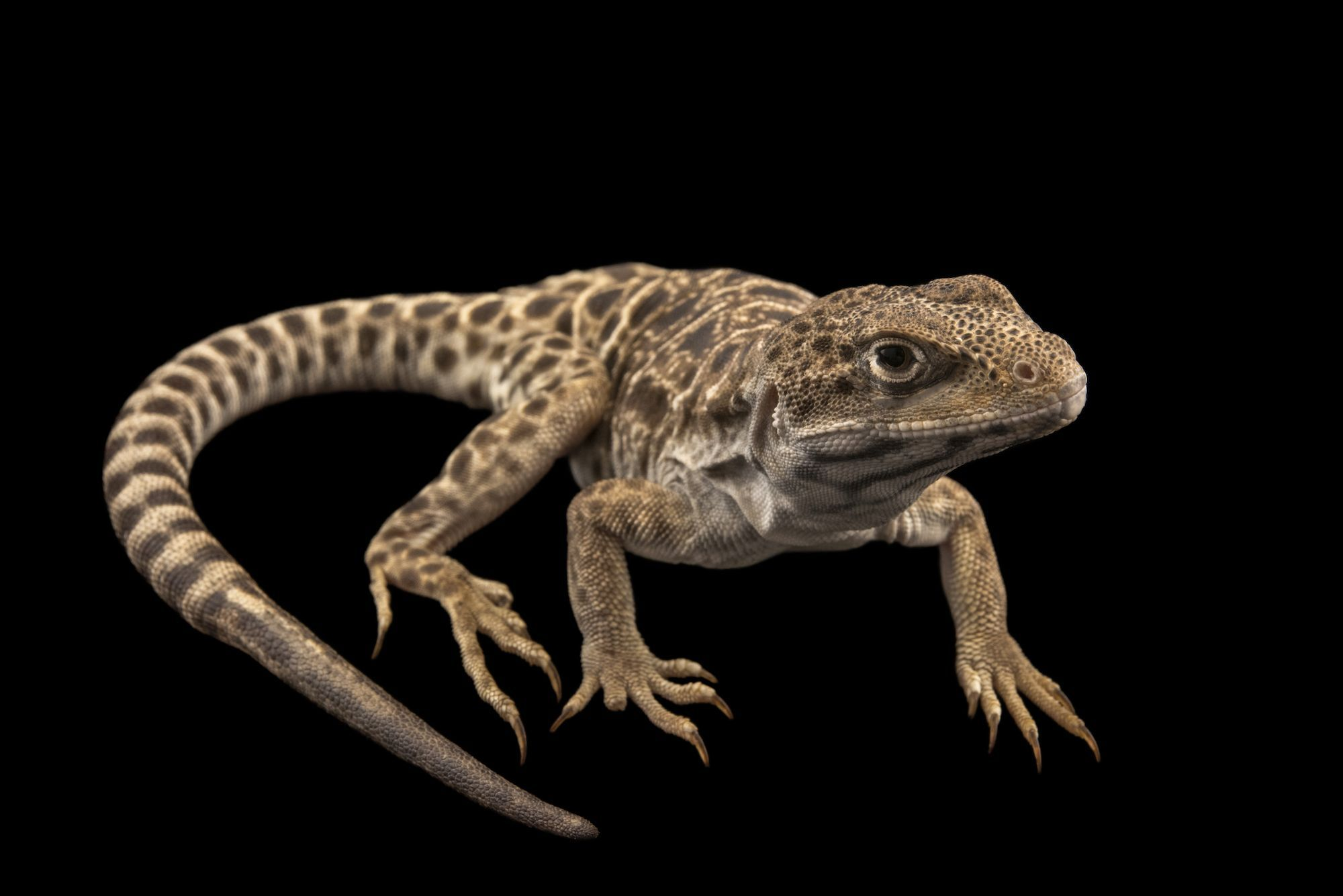 Photo Ark: Long-Nosed Leopard Lizard | National Geographic Society