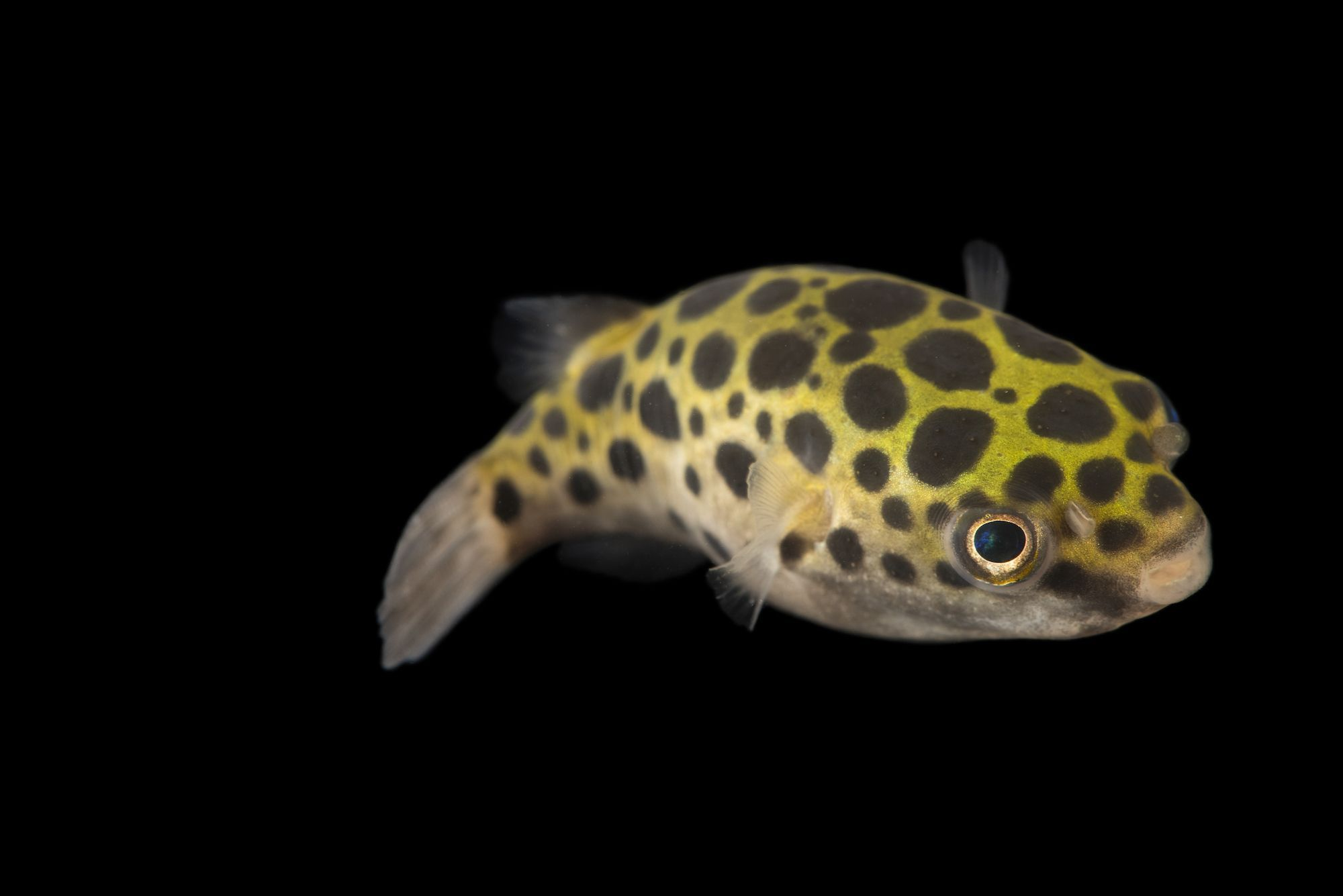 Photo Ark: Green Spotted Pufferfish | National Geographic