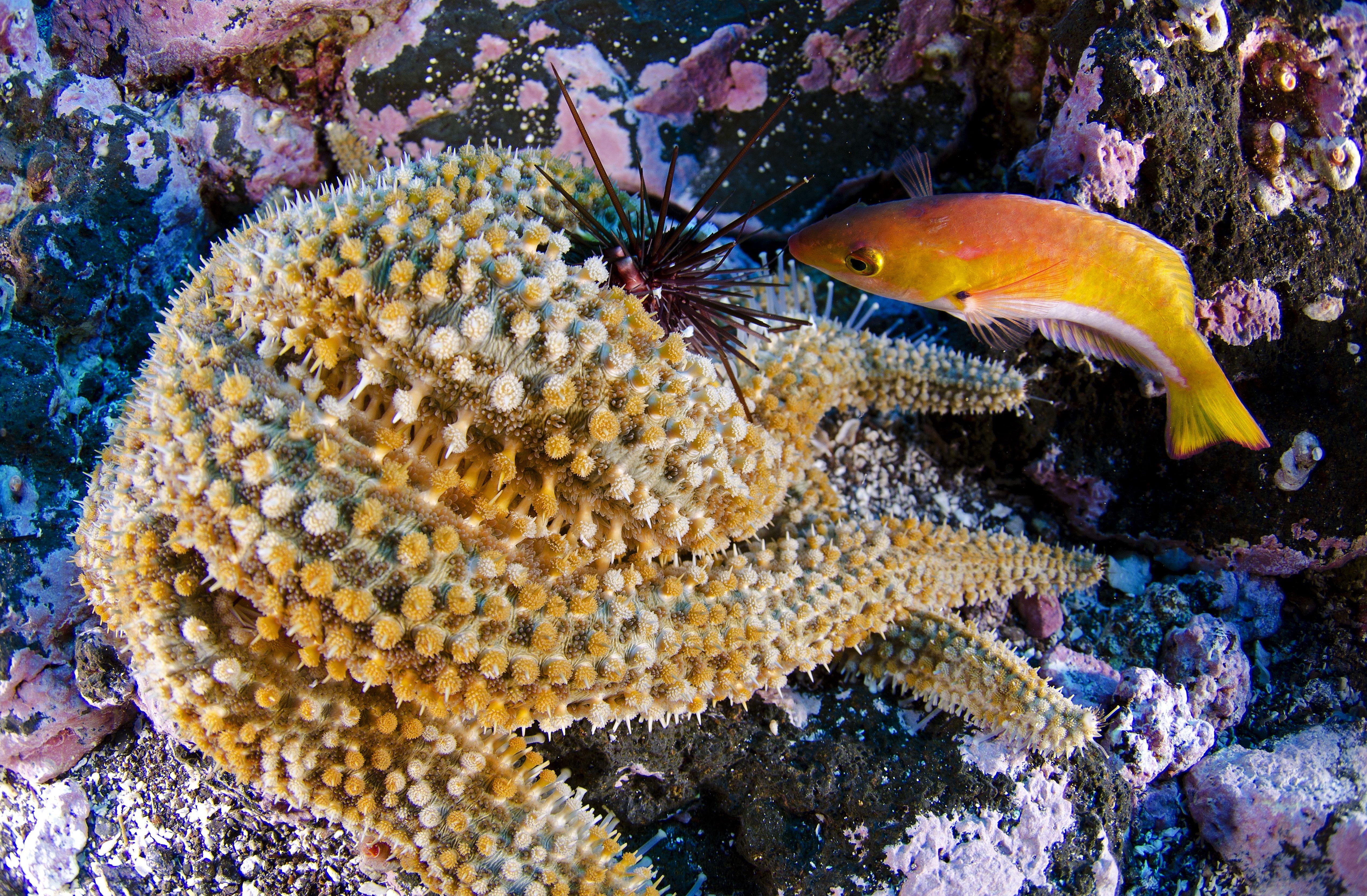 The Sea Urchins Pristine Christine