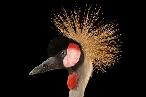 Picture of grey crowned crane at Parc des Oiseaux Bird Park (2431222)