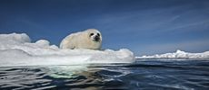 A harp seal sits on a greatly diminished ice pack.