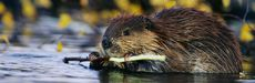 Picture of a beaver