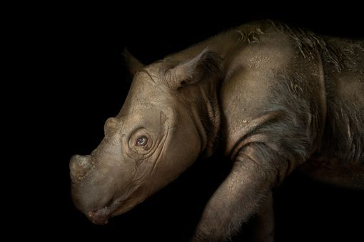Critically endangered Sumatran Rhino (Dicerorhinus sumatrensis)
