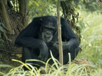 A chimpanzee eats termites off a vine twig in Gombe Stream National Park.