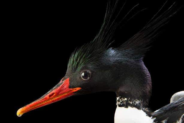 Picture of Chinese Merganser (2176101)