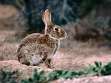 How European Rabbits Took over Australia