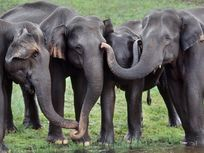 Asiatic elephants touching, Elephas maximus, Periyar Wildlife Sanctuary, Western Ghats, India
