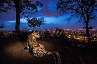 Shrinking Kingdoms   Leopards & Jaguars