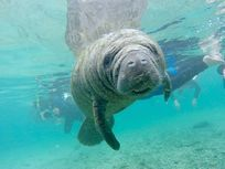 Underwater photo of a manatee.