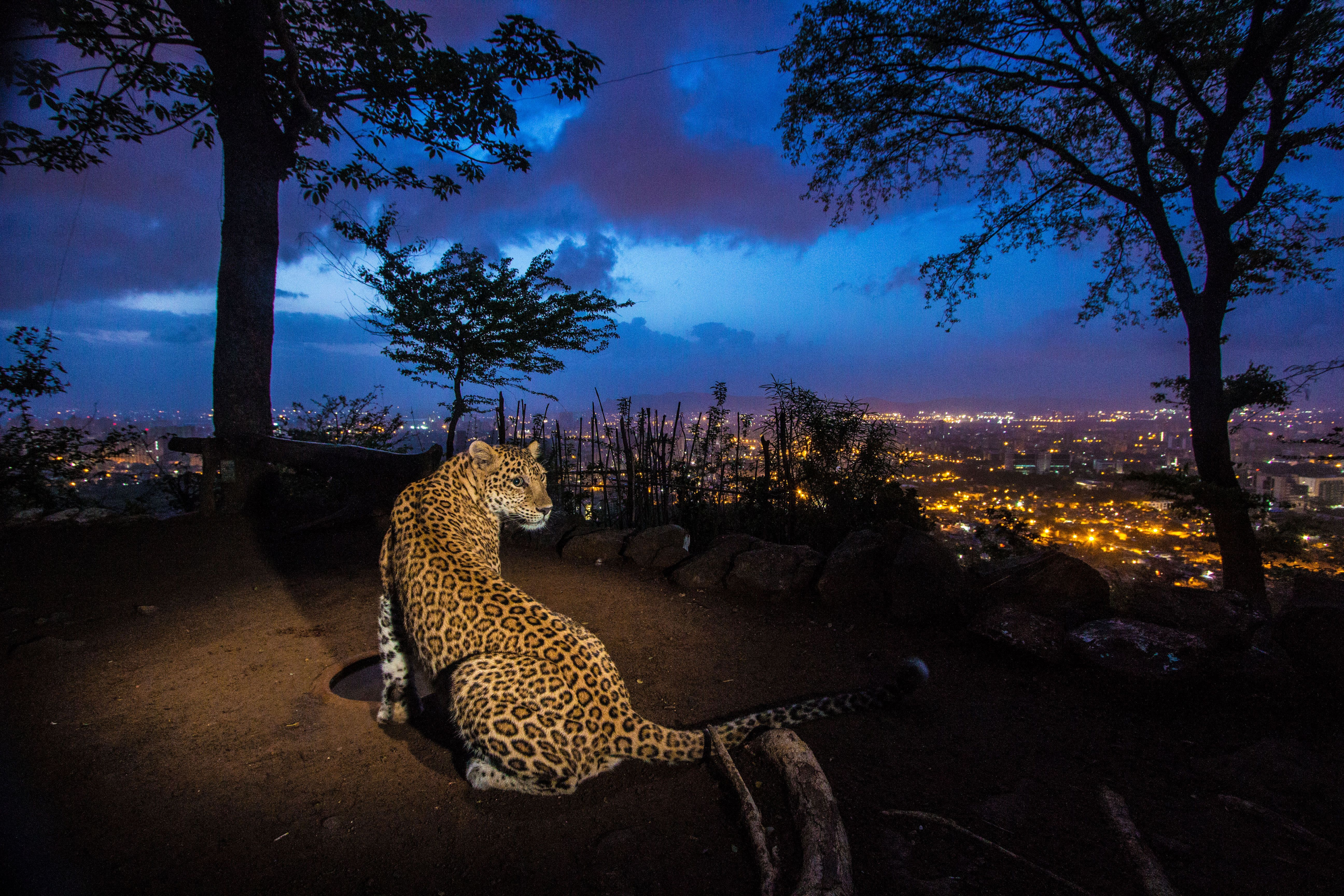 Shrinking Kingdoms: Leopards & Jaguars - National Geographic Museum 2018-05-01 15:04