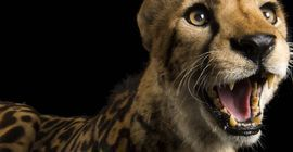 A male Southern Africa King cheetah, Acinonyx jubatus jubatus, named George at Zoo Miami.