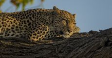 A leopard resting on a tree branch.