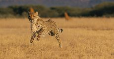 An African cheetah (Acinonyx jubatus jubatus) appears to be leaping in the air in mid-sprint.