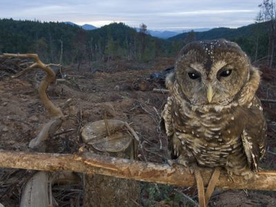 The northern spotted owl is a threatened species in Washington, Oregon, and California that prefers old-growth forest as its habitat.