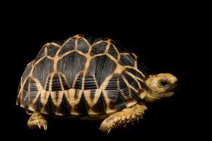 Picture of Burmese star tortoise (1102552)