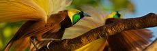 Picture of male bird of paradise