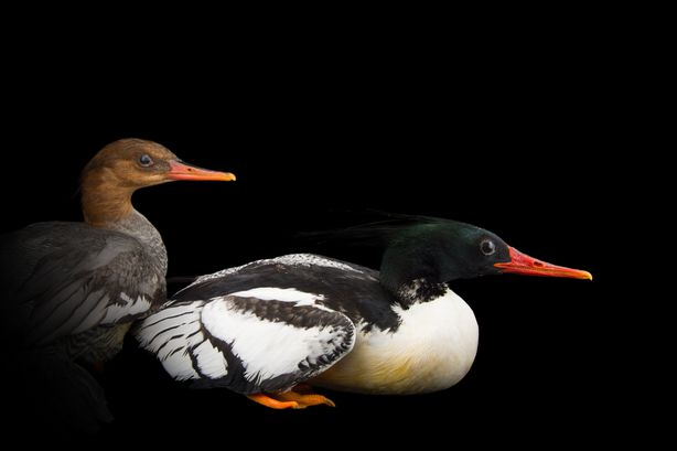 Picture of Chinese Mergansers (2175900)