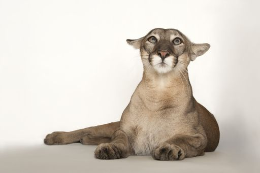 Picture of Florida panther