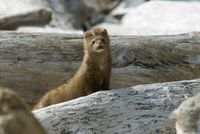 A small Mink peeks its head out of a pile of fallen logs in Vancouver