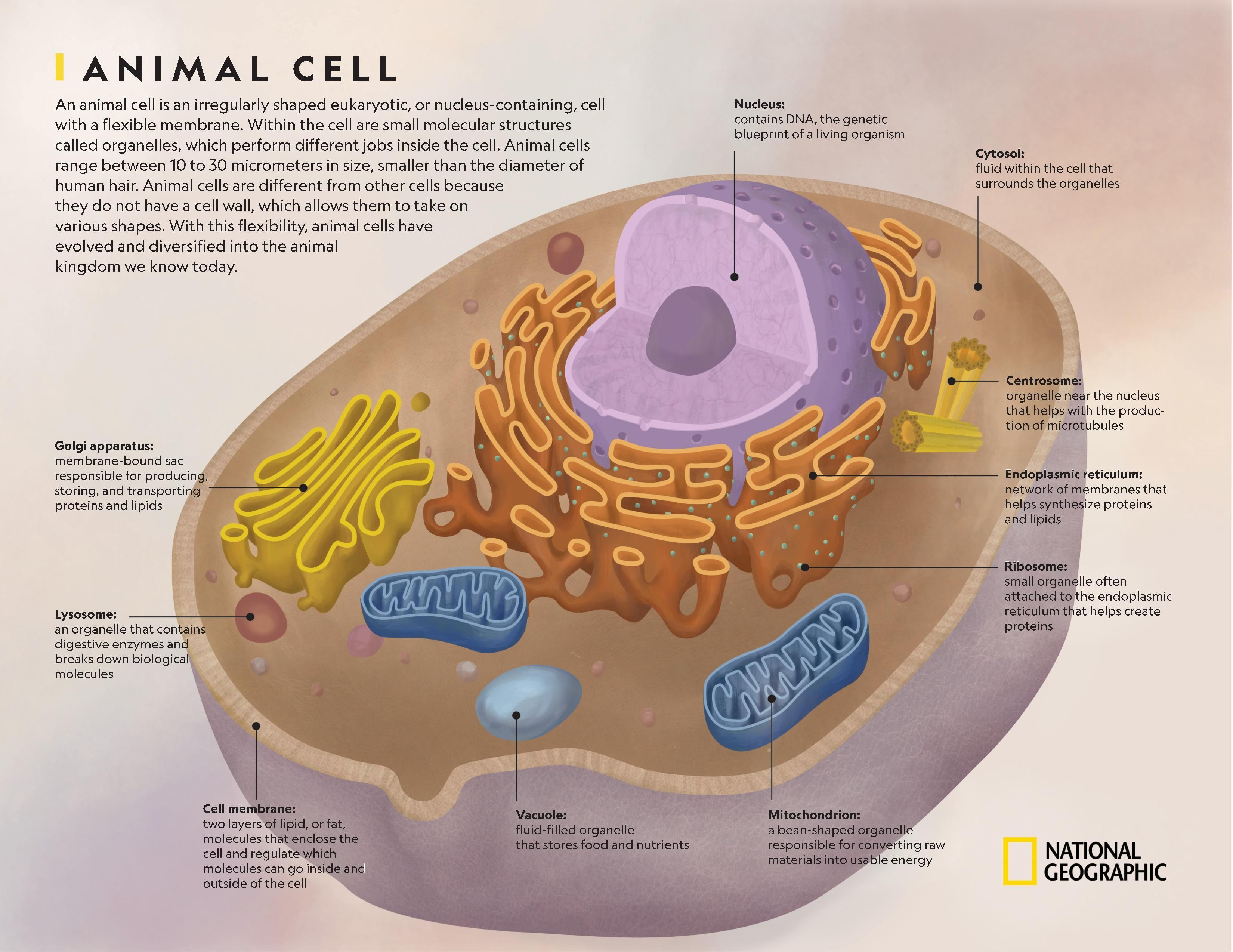 Animal Cell | National Geographic Society