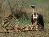 The Role of Scavengers: Carcass Crunching