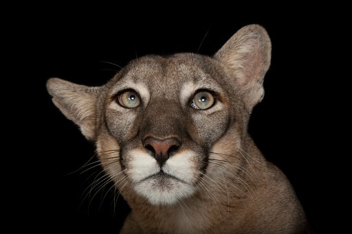 Picture of Florida panther (1762957)