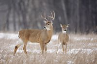 A white tailed buck and doe in a snowy meadow located in Minnesota